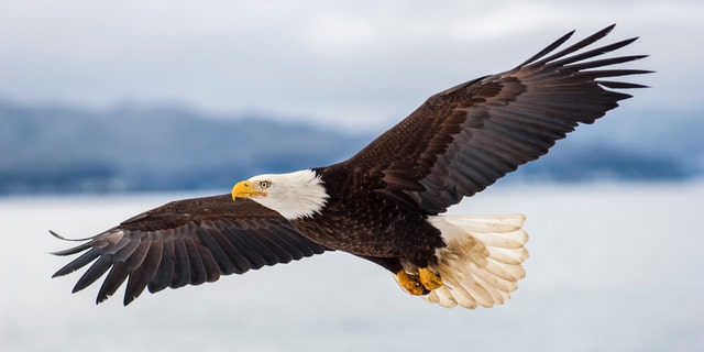 Kurt Johnston Duncan was linked to 125 wildlife misdemeanors over an 18-month period, having committed numerous wildlife crimes against bald eagles, among other species.