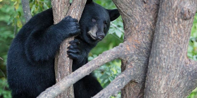"The black bear was ""vocalizing"" in a tree last Thursday. (iStock)"