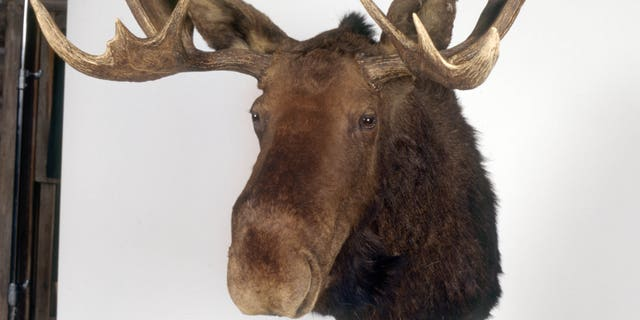 "A moose head in the TV series ""Northern Exposure"""