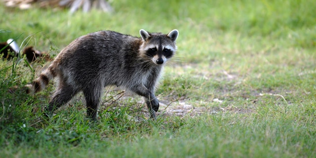 Rabies is a preventable viral disease of mammals most often transmitted to humans through the bite of a rabid animal. According to the Centers for Disease Control and Prevention (CDC), the majority of cases reported occur in animals like raccoons, skunks, bats and foxes. (iStock)