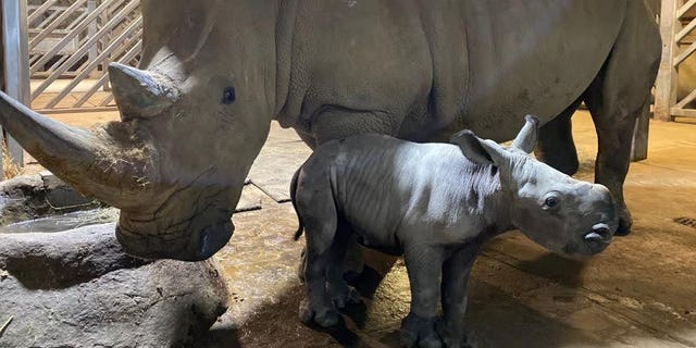 During the evening on October 14th, the Animal Care Team noticed Astrid's behavior change which indicated that she was in labor, therefore, staff came into the zoo at 9.00 pm to monitor Astrid close by via the cameras so they were on hand if any problems arose. (Credit: SWNS)