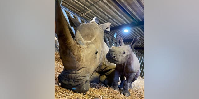 Male baby white rhino born at Colchester Zoo with mom Astrid. (Credit: SWNS)