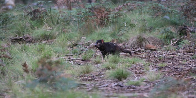 A Tasmanian devil shortly after release into a wild sanctuary on Barrington Tops. (Aussie Ark)
