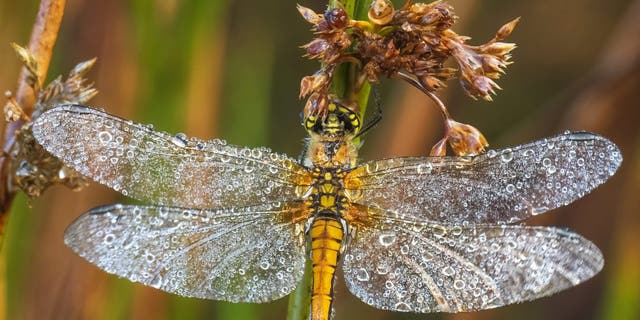 Spectacular images show one of the last damselflies of summer covered in dew as it clings to a reed at dawn. (信用: SWNS)