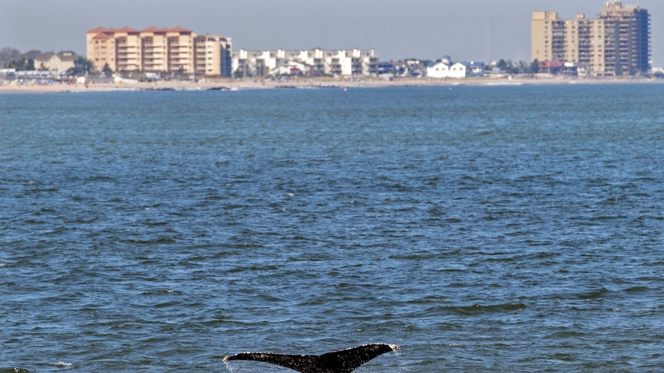 Young whales looking to dine flock to waters off NYC