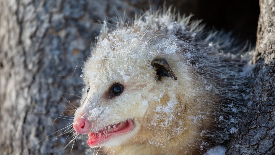 Rare hairless opossum dropped at wildlife center gets 'winter wardrobe' of sweaters to survive the cold