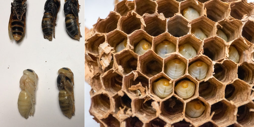 Over 500 'murder hornets' were found in Washington nest, including nearly 200 queens