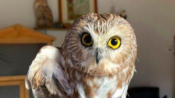 Rockefeller Center Christmas tree owl set free