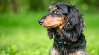 Dachshund rescues chiweenie from mountain lion attack in Colorado