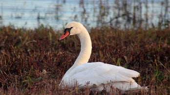 New Yorkers save sick swan, take it on subway to animal rescue