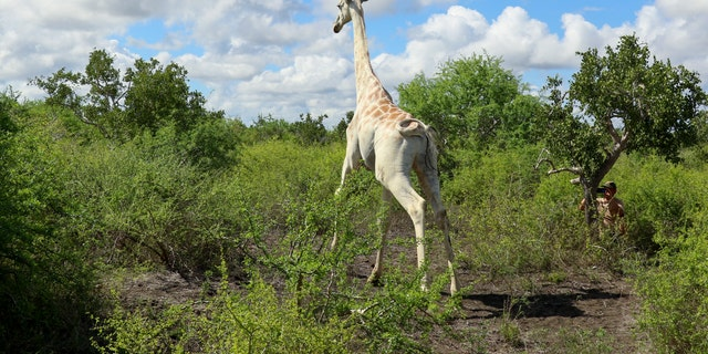In this photo released by the Ishaqbini Community Conservancy, a male giraffe with a rare genetic trait called leucism that causes a white color is seen in the Ishaqbini Community Conservancy in Kenya Sunday, Nov.. 8, 2020. The only known white giraffe in the world has been fitted with a GPS tracking device to help protect it from poachers as it grazes in the arid savannah in Kenya near the Somalia border. (Ishaqbini Community Conservancy via AP)