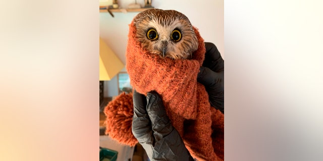In this photo provided by the Ravensbeard Wildlife Center, Ravensbeard Director and founder Ellen Kalish holds a Saw-whet owl at the center in Saugerties, 纽约, 星期三, Nov. 18, 2020. A worker helping to get the Rockefeller Center Christmas tree in New York City found the tiny owl among the tree's massive branches on Monday, 十一月. 16. Now named Rockefeller, the owl was brought to the Ravensbeard Wildlife Center for care. (Lindsay Possumato/Ravensbeard Wildlife Center via AP)