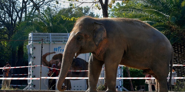 """A photographer takes a picture of an elephant named """"Kaavan"""" waiting to be transported to a sanctuary in Cambodia, at the Maragzar Zoo in Islamabad, 巴基斯坦. (AP Photo/Anjum Naveed)"""