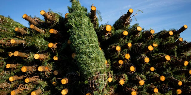 Freshly cut Christmas trees are increasing in popularity this year, with many young families wanting a new — or renewed — tradition to end a dreary year on a happier note. (AP Photo/Paula Bronstein)