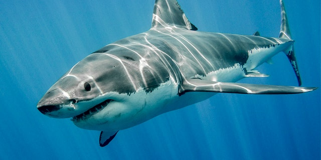 A great white shark swims just below the ocean's surface.