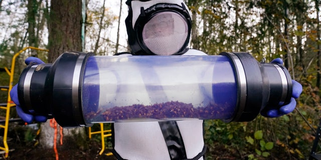 In this Oct. 24, 2020, file photo, Sven Spichiger, Washington state Department of Agriculture managing entomologist, displays a canister of Asian giant hornets vacuumed from a nest in a tree behind him in Blaine, Wash.