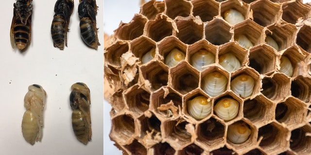 The Washington State Department of Agriculture said there were more than 500 Asian giant hornets, including nearly 200 queens capable of starting their own nests.