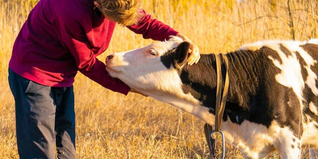 "During a stressful year defined by the pandemic and politics, some might be surprised to learn that ""cow hugging"" has allegedly emerged as a new wellness trend."