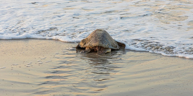 According to National Geographic, olive ridley sea turtles can weigh up to 100 pounds and are considered a vulnerable species. (iStock)