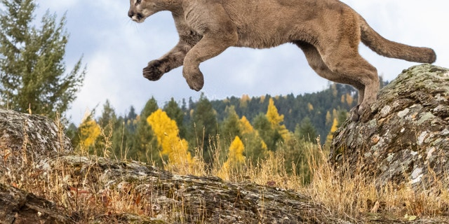 A mountain lion attacked and made off with a family's small dog.