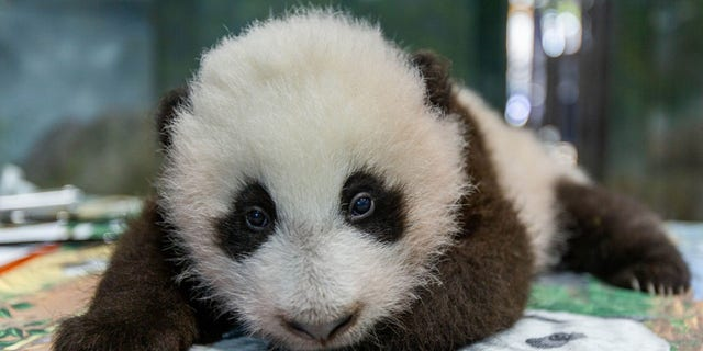 The 12-week-old male cub was born in August to its mother Mei Xiang.