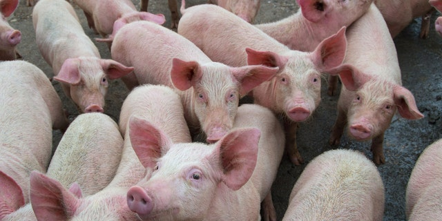 A rare strain of swine flu was reported in a human in the Canadian province of Alberta, health officials there announced this week. (iStock)