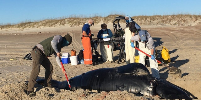 A North Atlantic right whale calf was recently found stranded on the beach on North Core Banks. (Krediet: NOAA)