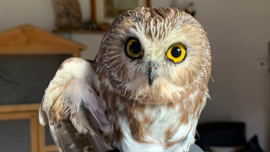 Rocky the Christmas tree owl is returned to the wild
