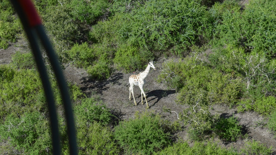 World's last known white giraffe fitted with GPS tracking device to prevent poaching