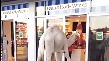 Camel spotted shopping at Bath & Body Works with owner in Nevada