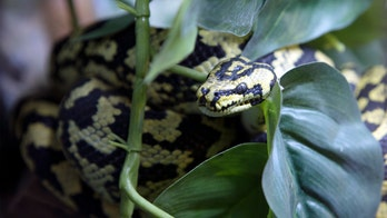 Small puppy rescued from carpet python's grip in Australian backyard