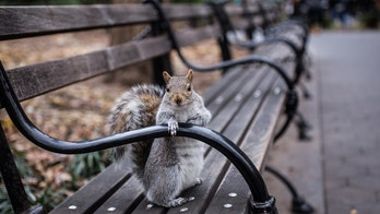 Mysterious NYC squirrel attacks rise in Queens neighborhood: Report