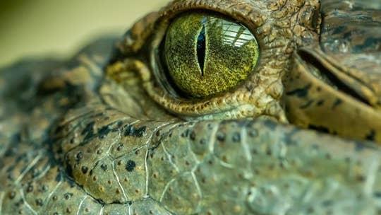 16-foot crocodile nicknamed 'swamp king' was Earth's terror millions of years ago