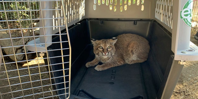 This Nov. 13, 2020 photo provided by the San Diego Humane Society shows a young bobcat at the San Diego Humane Society's Ramona Wildlife Center in Ramona, Calif. The young bobcat that was badly burned in a Southern California wildfire has been returned to its native habitat and will be released back into the wild.