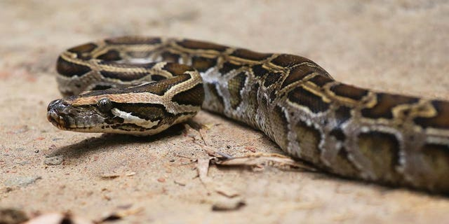 The Florida Fish and Wildlife Conservation Commission iscurrently measuring mercury amountsin Burmese python populations to determine whether they are safe for public consumption.