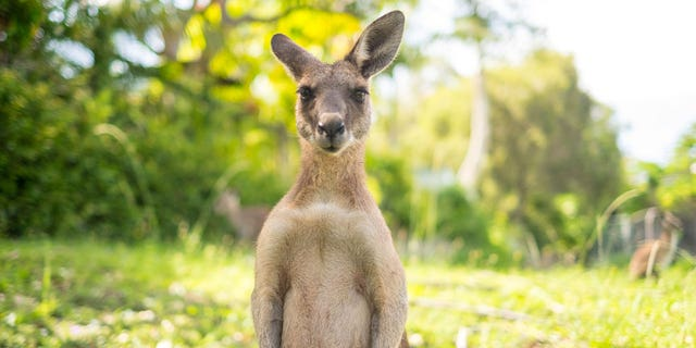 "Ek dink, 'Oh my goodness, this is now going to claw me to death,'"" Tracy Noonan recalled of being knocked down by a kangaroo on her morning run."