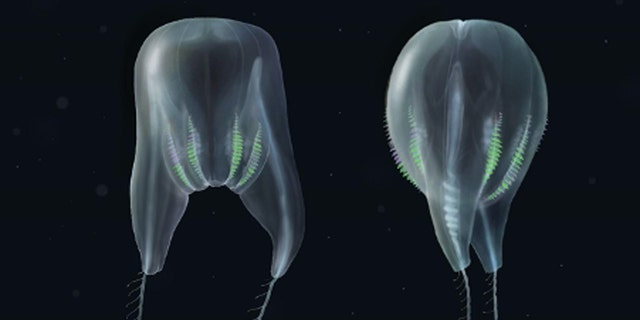 The new comb jelly species has been described as resembling a hot air balloon.