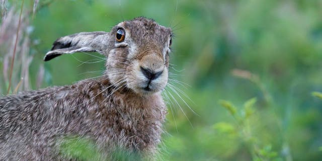 Someone returned a stuffed hare on Tuesday that had been stolen from an Indiana restaurant last week.