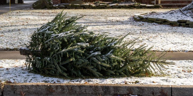 """""""Die meeste, if not all, county and city governments offer real Christmas tree pick up or drop off locations,"""" the expert said."""