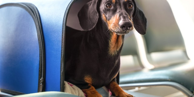 The US Department of Transportation (DOT) has announced that animals with emotional support will no longer be considered service animals.