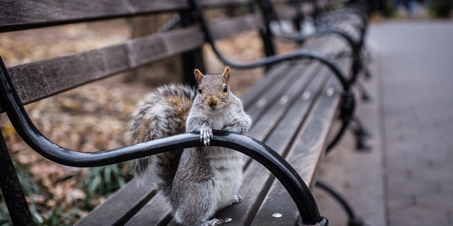 The total squirrel population throughout New York City is unknown. (iStock)