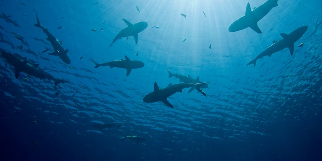 A fisherman in Australia filmed hundreds of sharks (not pictured) surrounding his trawler on Friday night. (iStock)