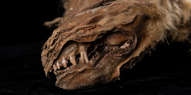 This mummified wolf pup dating back 57,000 years has been unearthed - entirely frozen in time. (Credit: SWNS)