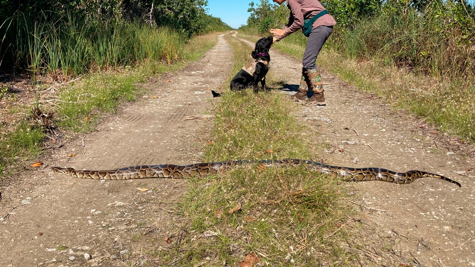 Python-sniffing dogs in Florida start successfully tracking invasive species