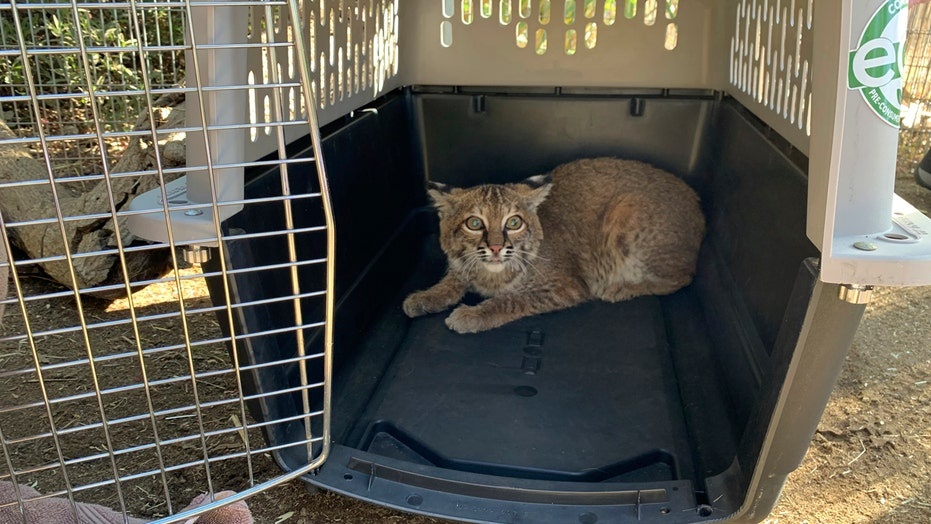Bobcat burned in California's El Dorado fire returned to the wild