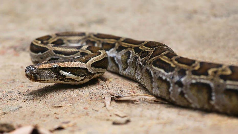 Florida-luislangjagter maak aandete op, nagereg, selfs kerskoekies met slangeiers, vleis