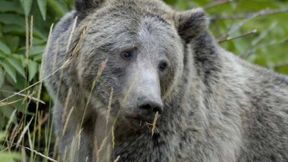 Grizzly bear illegally killed in Wyoming; Officials offering $2G reward for information