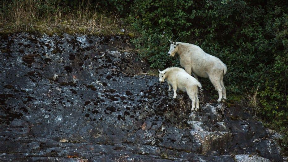 Bowhunter insacca enormi capre di montagna in Alaska, stabilisce un nuovo record mondiale