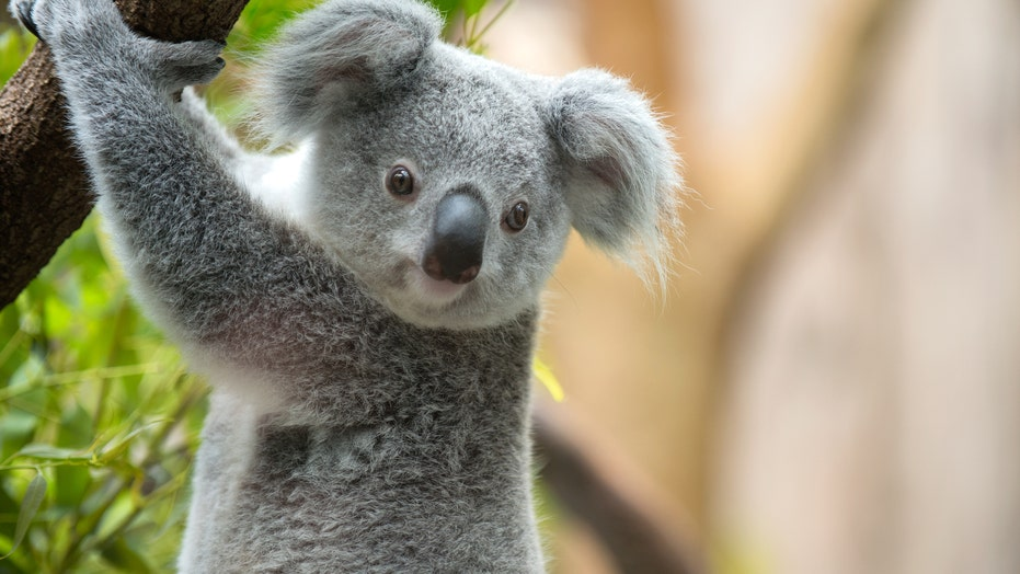 Australian family finds koala hiding in Christmas tree