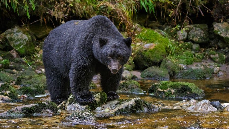 Missouri approves framework for black bear hunting